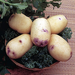 Kestrel Seed Potatoes (Second Early)