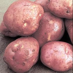 Desiree Seed Potatoes (Maincrop)