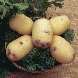 Second Early & Maincrop Seed Potato Duo Set