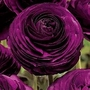 Ranunculus Purple 50 corms