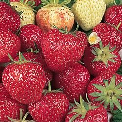 Strawberry Cambridge Favourite Plants (Main)