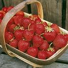 Strawberry Flamenco Plants (Everbearer)