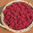 Raspberry Glen Moy Canes (Extra Early Floricane)