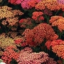 Achillea Millefolium 'Summer Berries' 36 plug plants