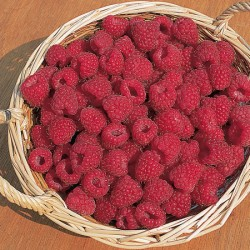 Raspberry Long Cropping Collection (18 canes)