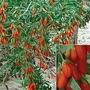 Goji Berry 1 plant in 9cm pot