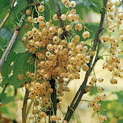 Whitecurrant Blanka Bush