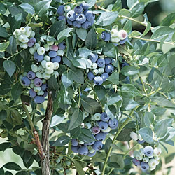 Blueberry Ozarkblue Bush