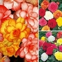 Begonia Bumper Pack 21 tubers - 7 of each