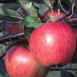 Apple Braeburn Hillwell Tree