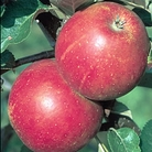 Apple Queen Cox Tree