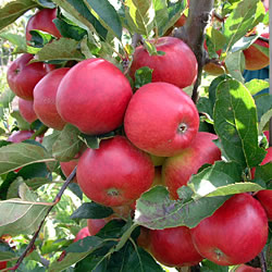 Apple Red Falstaff Tree