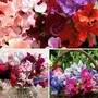 Sweet Pea Sweet Dreams Mixed 20 cells (100 plants)