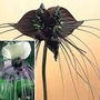 Bat Flower Collection 2 potted plants - 1 of each