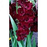 Gladiolus Belle de Nuit 12 bulbs