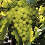 Grape Lakemont Vine