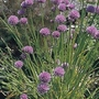 Chives Fine Leaved Seeds