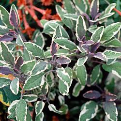 Tricolor Sage Plants x3