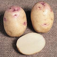 Potato : Kestrel 20 tuber pack