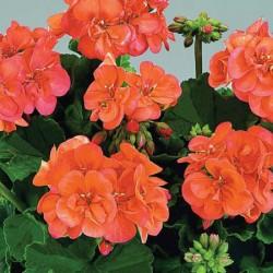 Geranium Zonal Collection* (5 Young Plants)