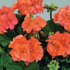 Geranium Zonal Collection* (5 Young Plants)