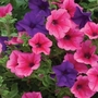 Petunia Surfinia* (5 Young Plants)