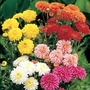 Early Decorative Spray Chrysanthemum* (5 Young Plants)