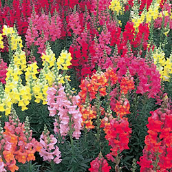 Antirrhinum Liberty Mixed* (60 Medium Plants)