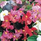 Begonia Organdy Mixed* (60 Medium Plants)