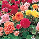 Begonia Non-stop Mixed* (60 Medium Plants)