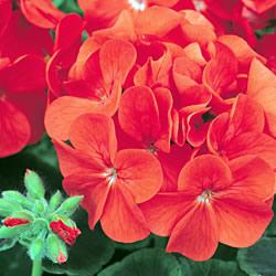 Geranium Bullseye Scarlet* (60 Medium Plants)