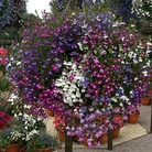 Lobelia Regatta Mixed* (60 Medium Plants)