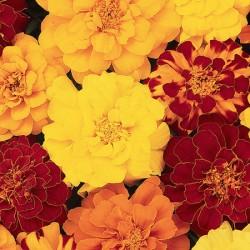 Marigold Durango Mixed (French)* (60 Medium Plants)