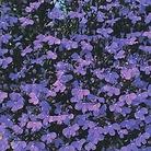 Lobelia Crystal Palace* (60 Medium Plants)