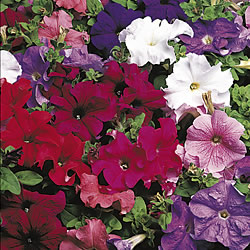 Petunia Express Select* (60 Medium Plants)