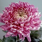 Chrysanth Early Outdoor Blooms* (5 Young Plants)