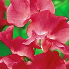 Lipstick Sweet Pea Seeds