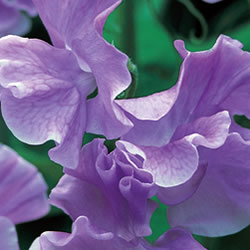 Orchid Sweet Pea Seeds