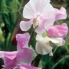 Percy Thrower Sweet Pea Seeds