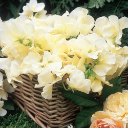 Extra Fragrant Sweet Pea Seed Collection