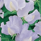 Cambridge Blue Sweet Pea Seeds