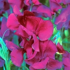 Memories Sweet Pea Seeds