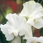 Dancing Queen Sweet Pea Seeds
