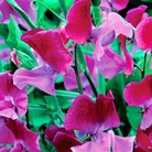 Duo Magenta Sweet Pea Seeds