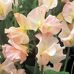 Harlow Carr Sweet Pea Seeds