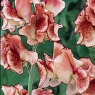 Candy Sweet Pea Seeds