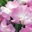 Pink Pearl Sweet Pea Seeds