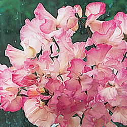 Rosy Frills Sweet Pea Seeds