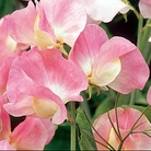 Terry Wogan Sweet Pea Seeds