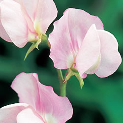 Prima Donna Sweet Pea Seeds
